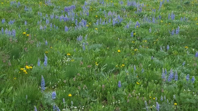 'wild' field